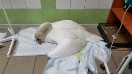 На Верхнем озере в Калининграде снова обнаружили лебедя с признаками отравления