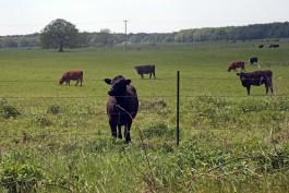 Минсельхоз: За 2018 год в Калининградской области поголовье мясного скота увеличилось на 12 тысяч
