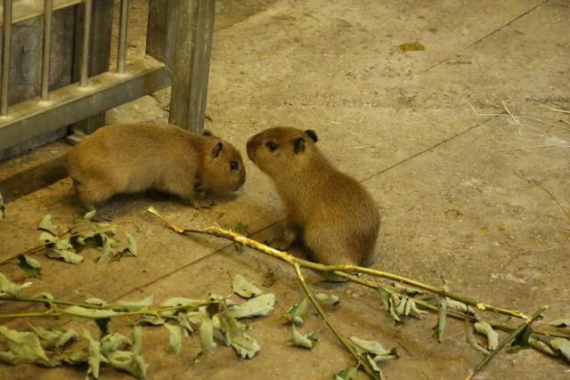 ВКалининградском зоопарке впервый раз родились капибары