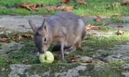 В зоопарке Калининграда впервые родилась патагонская мара
