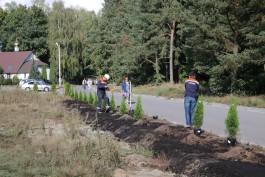 Во Взморье неизвестные похитили 20 туй, которые высадили строители Приморской ТЭС