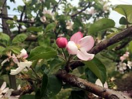 «Кучу ошибок наделали»: что получилось из первого в регионе промышленного яблоневого сада