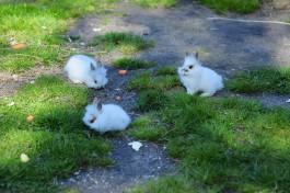 В Черняховском округе задержали таксиста и студента, которые украли 82 кролика и двух телят