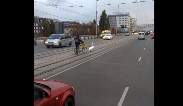 Очевидцы: Велосипедист спас лебедя, гуляющего по эстакадному мосту в Калининграде