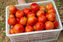 В регион пытались ввезти 12 тонн заражённых томатов из Северной Македонии