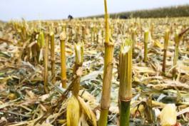 В Полесском округе двое мужчин украли с поля кукурузу на 13 тысяч рублей