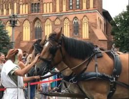 Лошади-тяжеловозы редкой породы прибыли на остров Канта в Калининграде