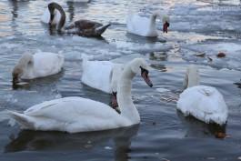 Прокуратура Черняховска обеспечила диких лебедей домиками для зимовки и кормом