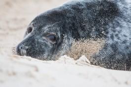 «Какая-то катастрофа»: на побережье Литвы выбрасывает десятки мёртвых тюленей