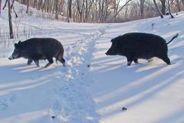 В Калининградской области начали подсчитывать диких животных