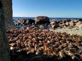 Эксперты не прогнозируют массового мора майских жуков на пляжах Калининградской области
