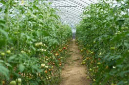 УМВД: В Гусеве пенсионерка разбила плантацию конопли в овощной теплице