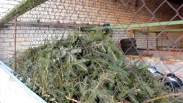 УМВД: Житель Нестерова срубил в лесу ёлки и пытался их продать
