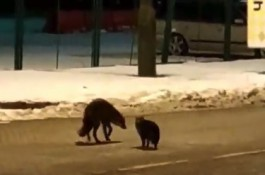 На российско-польской границе кот напал на дикую лису из-за сосиски
