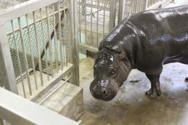 В калининградский зоопарк привезли карликового бегемота из Литвы