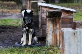 «Собачья жизнь»: как устроен вылов безнадзорных животных в Калининградской области