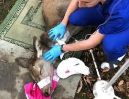 Ветеринар: Обнаруженного на территории школы №56 оленя, скорее всего, загнали собаки