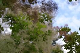 В Ботаническом саду Калининграда зацвело дерево-облако
