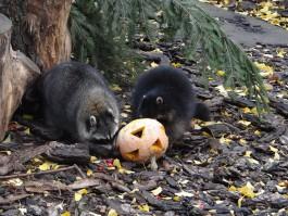 Калининградский зоопарк сделает скидку на билет для посетителей с тыквой
