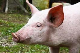 На крупном свинокомплексе в Правдинском округе на месяц ввели карантин из-за АЧС
