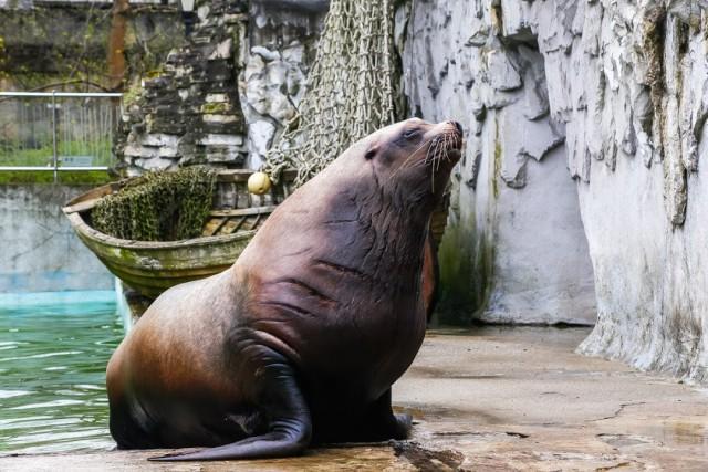 В зоопарке Калининграда пытаются продлить жизнь самого старого в мире сивуча