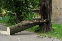 Сильный ветер повалил шесть деревьев в Калининграде
