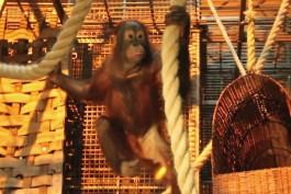 В калининградский зоопарк привезли двоих орангутанов