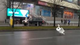 Калининградцы спасли лебедя, гуляющего по дороге в центре Калининграда