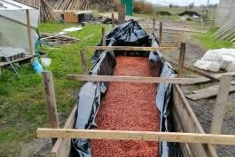 В питомнике под Зеленоградском высадят миллион семян корейского кедра