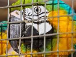 В калининградском зоопарке составили карту перемещений сбежавшего попугая