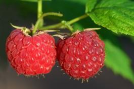 В фермерском хозяйстве под Зеленоградском планируют собрать 1,5 тонны малины