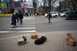Собачьи своры на проезжей части в центре Калининграда