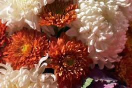 В Калининградскую область не пустили заражённые хризантемы из Латвии