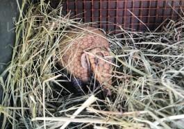В калининградский зоопарк из Варшавы привезли шаровидного броненосца