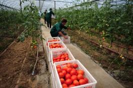 Под Гусевом запускают тепличный комплекс на три тысячи тонн томатов и огурцов