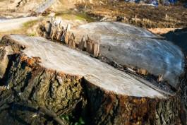 Мэрия Калининграда разрешила вырубить ещё 55 деревьев для строительства домов на Орудийной