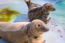 В калининградском зоопарке тюленята научились плавать
