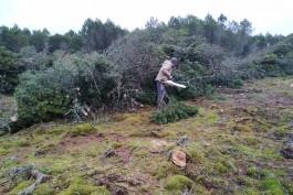 На Куршской косе начали вырубку на площади 1,5 гектара