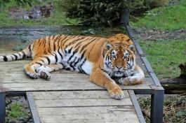 В калининградском зоопарке под наркозом обследовали пожилых медведицу и тигра