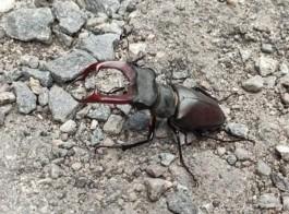 «Грозный, но безопасный»: в Калининградской области обнаружили краснокнижного жука-оленя