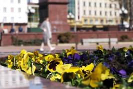 На улицах Калининграда высадят 50 тысяч анютиных глазок