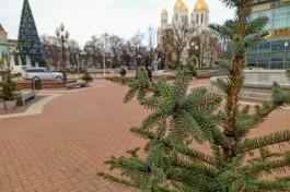 На площадь Победы в Калининграде привезли 100 живых елей из Польши