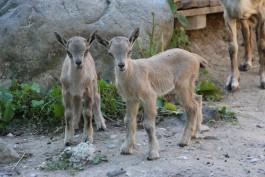 В калининградском зоопарке родились винторогие козлы Чук и Гек
