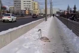 На эстакадном мосту в Калининграде обнаружили обессиленного лебедя