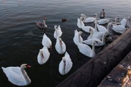 «Чем кормить и куда звонить»: 6 вопросов о зимовке лебедей в Калининградской области