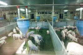 Суд приостановил работу свинокомплекса в Правдинском округе