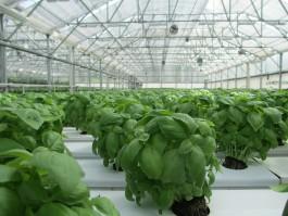 В новом тепличном комплексе под Гвардейском будут выращивать салат, базилик, петрушку и укроп