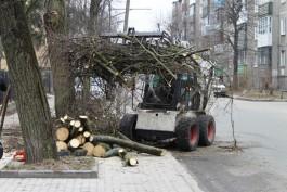 На двух улицах Калининграда вырубят сухостойные деревья