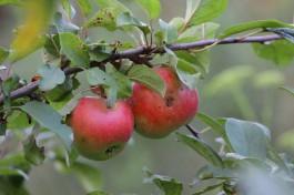 Площадь садов и ягодников в Калининградской области превысила 900 гектаров
