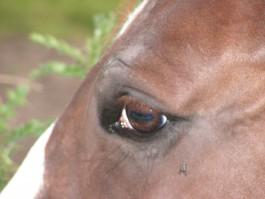 Под Краснознаменском полицейские задержали конокрада верхом на лошади Лыске